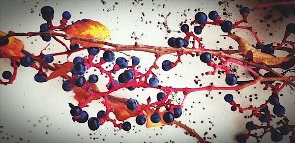 Wildwein Früchte